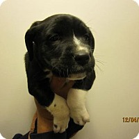 Adopt A Pet :: Baby Snickerdoodle - Rockville, MD