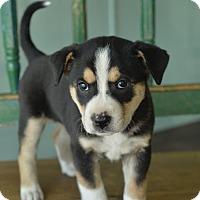 Adopt A Pet :: Angie - San Antonio, TX