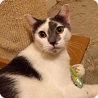 Adopt A Pet :: Pansy - Mansfield, TX