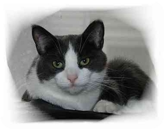 Domestic Shorthair Cat for adoption in Montgomery, Illinois - Lacey