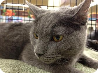 Cleo | Adopted Kitten | 5500987 | New york, NY | Russian Blue