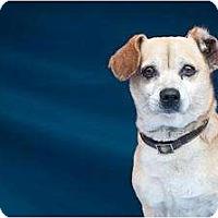 Adopt A Pet :: Petunia - Poway, CA