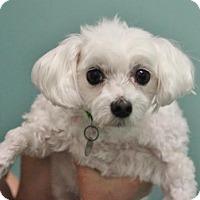 Adopt A Pet :: Angel - Smyrna, GA