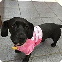 Adopt A Pet :: Bennett - Dallas, TX