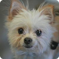 Adopt A Pet :: Abby - Canoga Park, CA