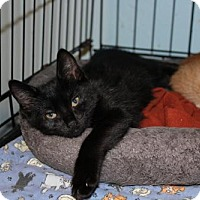 Adopt A Pet :: Midnight - Cypress, TX