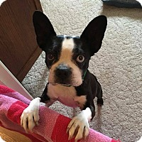 Adopt A Pet :: Yankee - Weatherford, TX