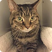 Adopt A Pet :: Hobbes - Merrifield, VA