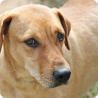 Labrador Retriever/Redbone Coonhound Mix Dog for adoption in Marion, North Carolina - Lydia