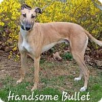 Adopt A Pet :: Pw bullet - Gerrardstown, WV