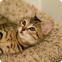 Adopt A Pet :: Brownie-13327 - Richardson, TX