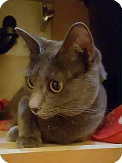 Russian Blue Cat for adoption in Laguna Woods, California - Mistique (Misty)