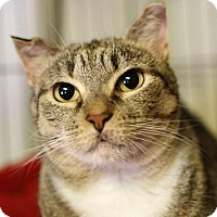 Domestic Shorthair Cat for adoption in Winston-Salem, North Carolina - Kendal