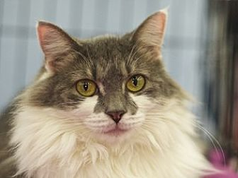 Domestic Mediumhair Cat for adoption in Great Falls, Montana - Ribbon