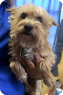 Yorkie, Yorkshire Terrier Dog for adoption in Winchester, Kentucky - Ginger