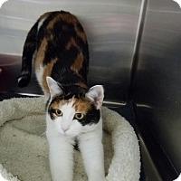 Adopt A Pet :: Calli - Elyria, OH