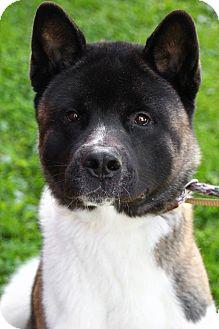 Akita Dog for adoption in Downingtown, Pennsylvania - Kato