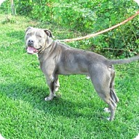 Pit Bull Terrier Dog for adoption in Dowagiac, Michigan - STEEL