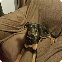 Doberman Pinscher Mix Puppy for adoption in New Oxford, Pennsylvania - Hillary