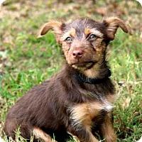 Adopt A Pet :: PUPPY MOCHA MAN - Portland, ME