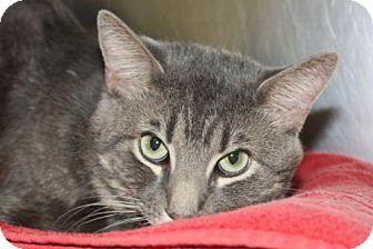 Domestic Shorthair Cat for adoption in Salem, Massachusetts - Flicka