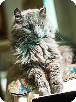 Domestic Mediumhair Cat for adoption in St. Helena, California - Shawna