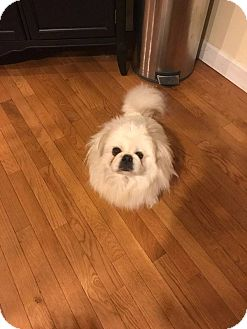 Pekingese Dog for adoption in Portland, Maine - Diego