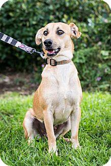 Labrador Retriever/Italian Greyhound Mix Dog for adoption in San Diego, California - Dulce