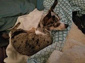 weston fl   dachshund meet cayden a dog for adoption