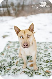 Husky Mix Dog for adoption in Stanton, Michigan - Truman