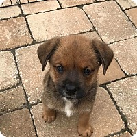 Adopt A Pet :: Hadley - Westerly, RI