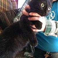 Adopt A Pet :: Chubbykins - Jefferson, NC