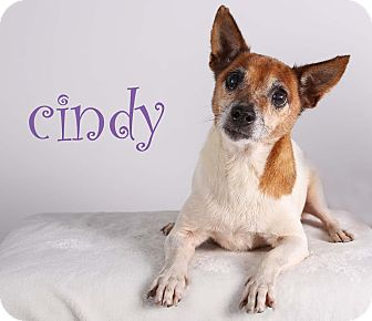 Jack Russell Terrier Mix Dog for adoption in Gainesville, Florida - Cindy