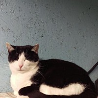 Domestic Shorthair Cat for adoption in Brainardsville, New York - Elsie