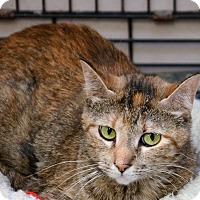 Domestic Mediumhair Cat for adoption in DuQuoin, Illinois - Carol