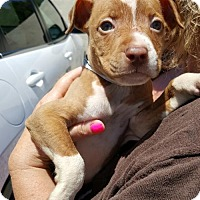 Adopt A Pet :: Chase - Morganville, NJ