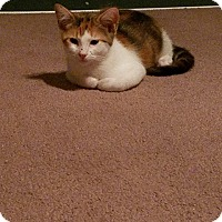 Domestic Shorthair Kitten for adoption in Rosamond, California - Athena