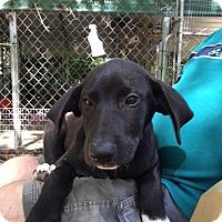 Adopt A Pet :: Dazzle - Hohenwald, TN