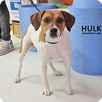 Adopt A Pet :: Hulk  UPDATE - Elizabeth City, NC