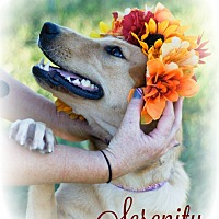 Golden Retriever Mix Dog for adoption in Franklin, Tennessee - Serenity