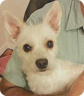 Terrier (Unknown Type, Small) Mix Dog for adoption in Lakewood, Colorado - Cosmo