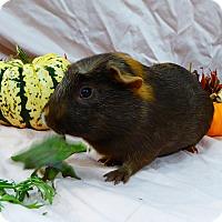 Guinea Pig for adoption in Alexandria, Virginia - Mystery