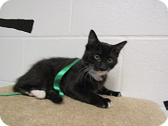 Domestic Shorthair Cat for adoption in Rome, Georgia - 16C-1475 (11/22)