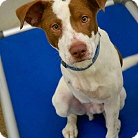 Adopt A Pet :: Brody - Beaumont, TX