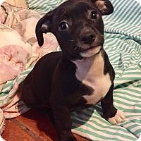 Adopt A Pet :: Peyton (BH) - Santa Ana, CA