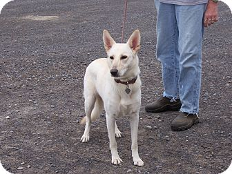 German Shepherd Dog Dog for adoption in Tully, New York - SNOW