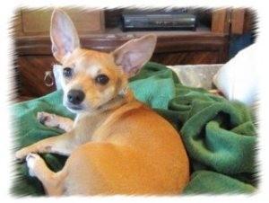Chihuahua/Dachshund Mix Dog for adoption in Sacramento, California - Daisy
