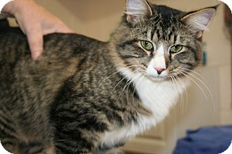 Maine Coon Cat for adoption in Hagerstown, Maryland - Kris Kringle