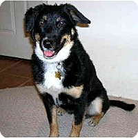 Adopt A Pet :: COURTESY-Charli - Scottsdale, AZ