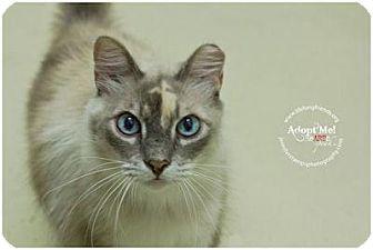 Siamese Cat for adoption in Lago Vista, Texas - Diamond